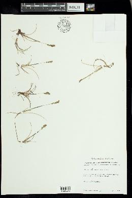 Anthoxanthum arcticum image