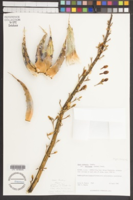 Agave utahensis var. eborispina image