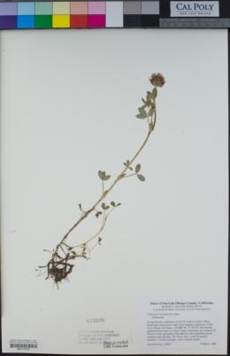 Trifolium wormskioldii image