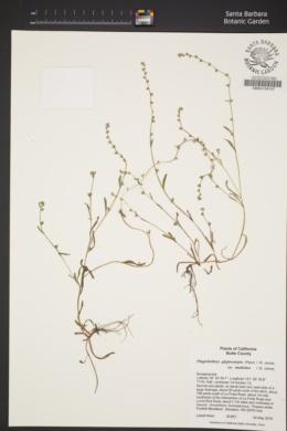 Plagiobothrys glyptocarpus var. modestus image
