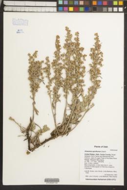 Image of Artemisia spiciformis