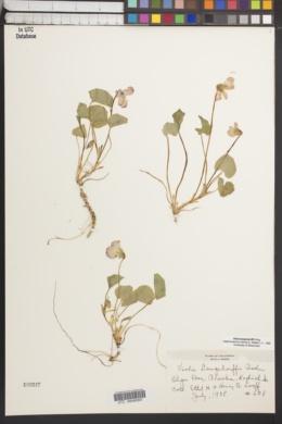 Image of Viola langsdorffii