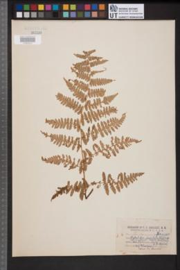 Hypolepis punctata image