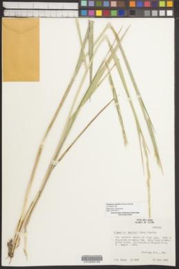 Image of Roegneria abolinii