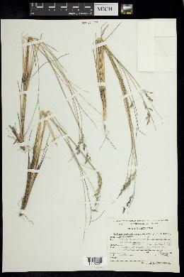 Calamagrostis tolucensis image
