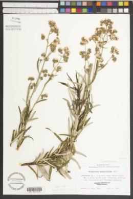 Eriodictyon angustifolium image