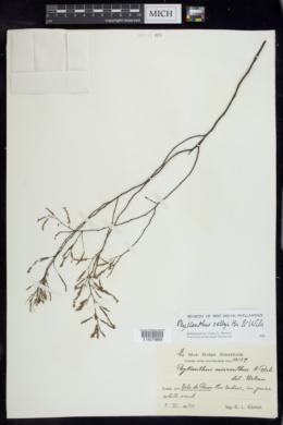 Image of Phyllanthus selbyi