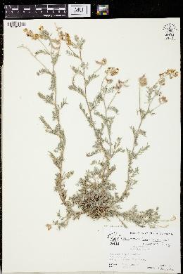 Astragalus humistratus image