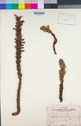 Aphyllon californicum subsp. grayanum image
