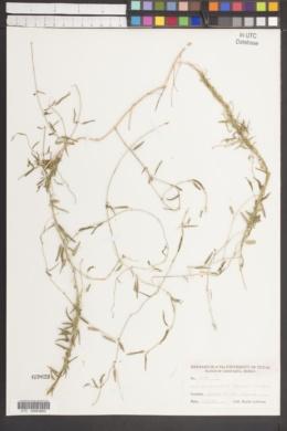 Cynanchum kunthii image