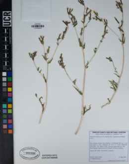 Mentzelia desertorum image