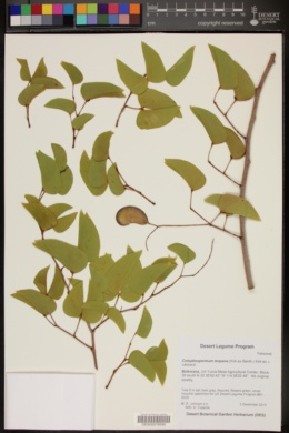 Image of Colophospermum mopane