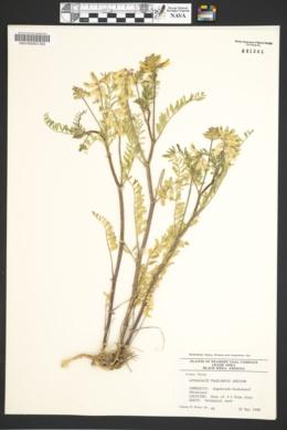 Astragalus praelongus image