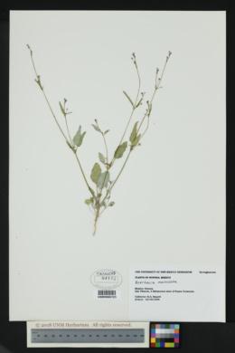 Image of Boerhavia maculata
