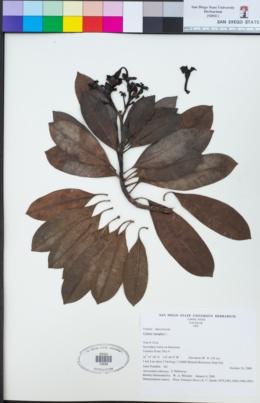 Image of Cerbera manghas