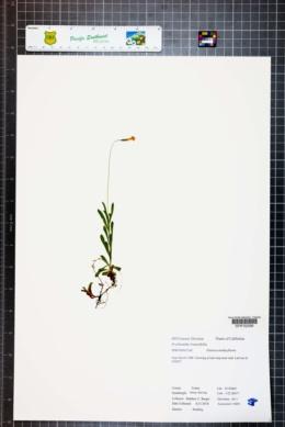 Image of Erythranthe linearifolia