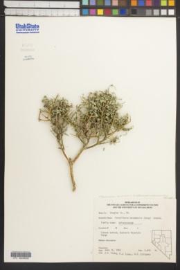 Glossopetalon spinescens var. meionandrum image
