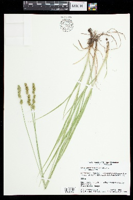 Carex annectens image