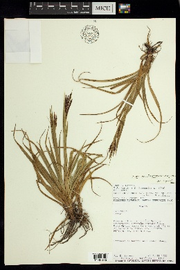 Image of Carex austromexicana