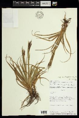 Image of Carex austromexicana