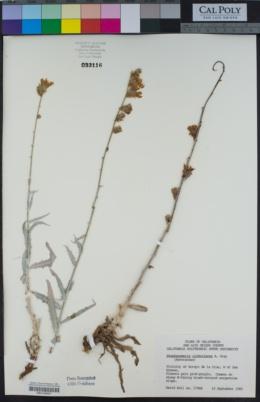 Stephanomeria cichoriacea image