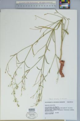 Euphorbia strictior image