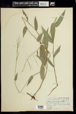 Image of Ichnanthus lanceolatus
