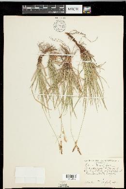 Carex inops image