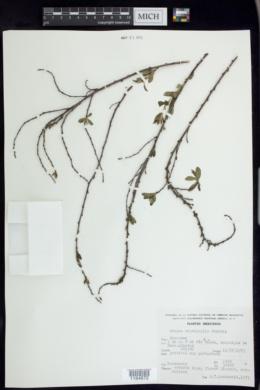 Prunus microphylla image