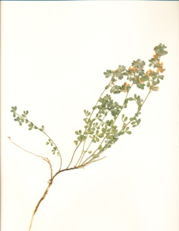 Image of Acmispon nevadensis