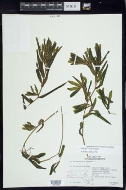 Potamogeton crispus image