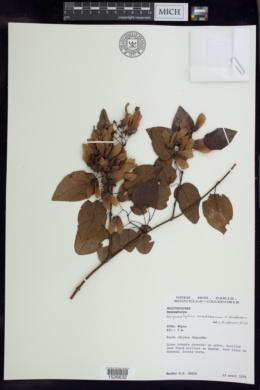Image of Stigmaphyllon mackeeanum