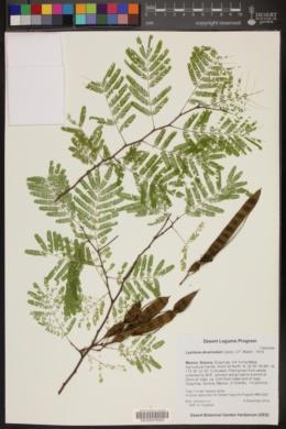 Lysiloma divaricatum image