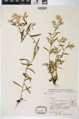 Gnaphalium obtusifolium var. micradenium image