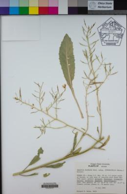 Image of Brassica elongata