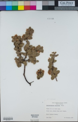 Arctostaphylos purissima image