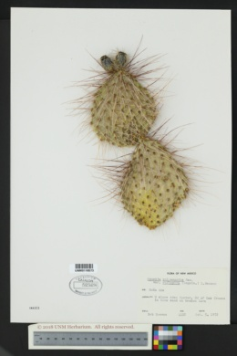 Opuntia polyacantha var. rufispina image