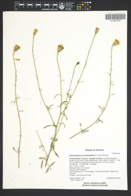 Adenophyllum porophylloides image
