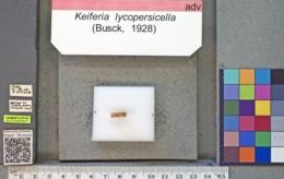 Keiferia lycopersicella image
