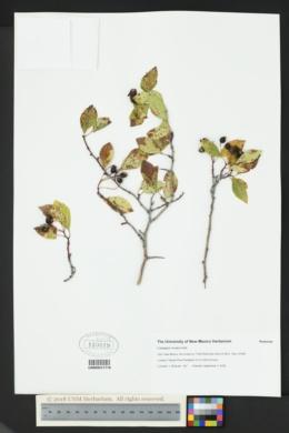 Crataegus rivularis image
