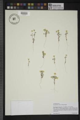 Eriophyllum wallacei image