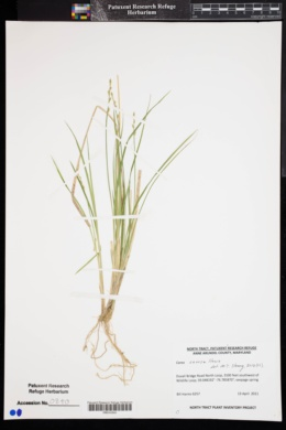 Image of Carex seorsa