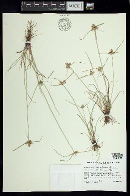 Image of Cyperus regiomontanus