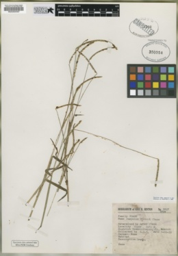 Image of Paspalum hintonii