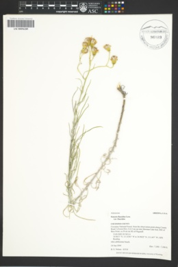 Senecio flaccidus var. flaccidus image