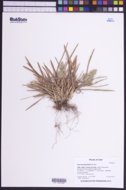 Image of Poa brachyanthera