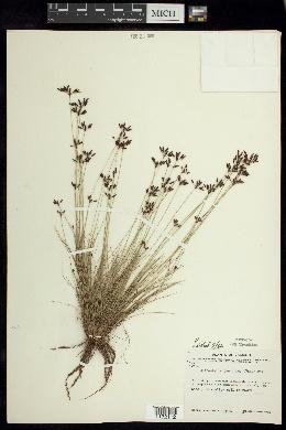 Image of Bulbostylis juncoides