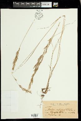 Image of Melica cepacea
