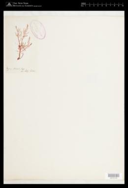 Calliblepharis planicaulis image