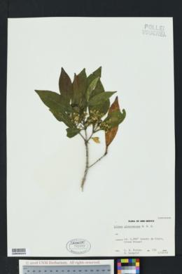 Litsea glaucescens image
